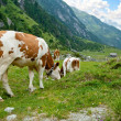 Stock Photo: Alpine cows