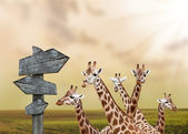 Lost giraffes — Stock Photo
