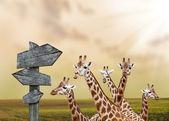 Потерянные жирафы — Стоковое фото