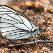 Stock Photo: Butterfly Black-Veined White (AporiCrataegi)