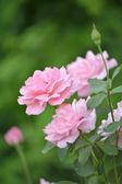 Three beautiful roses — Stock Photo