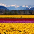Yellow Red Purple Tulips Flowers Snow Mountains Skagit Valley Wa — Stock Photo