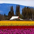 Stock Photo: Purple Red Yellow Tulips Flowers Skagit Valley Washington State