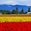 Stock Photo: Red Yellow Tulips Flowers Mt Baker Skagit Valley Washington Stat
