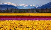 Yellow Red Purple Tulips Flowers Snow Mountains Skagit Valley Wa — Stock Photo