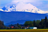 Mount Baker Skagit Valley Yellow Flowers Washington State — Stock Photo