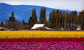 Purple Red Yellow Tulips Flowers Skagit Valley Washington State — Stock Photo