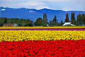 Red Yellow Tulips Flowers Mt Baker Skagit Valley Washington Stat — Stock Photo