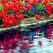 Red Tulips Blue Grape Hyacinth Reflection Skagit Valley Washingt - Stok fotoraf