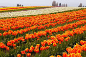 Red Orange White Yellow Tulips Flowers Field Skagit Valley Washi — Stock Photo