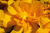 Yellow Frilly Tulip Black Backgroundn Flower Skagit Valley Washi — Stock Photo