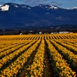 Stock Photo: Spring Yellow Daffodil Row Flowers Skagit Valley Washington Stat