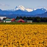 Mount Shuksan Skagit Valley Yellow Daffodils Flowers Washington — Stock Photo #11536855