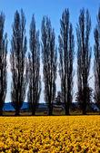 Yellow Daffodils Flowers Cypress Trees Skagit Valley Washington — Stock Photo