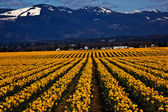 Spring Yellow Daffodil Row Flowers Skagit Valley Washington Stat — Stock Photo