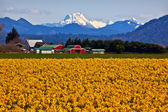 Mount Shuksan Skagit Valley Yellow Daffodils Flowers Washington — Stock Photo