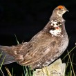 Sprue Canada Grouse Falcipennis Canadensis Close Up Washington - Stock Photo