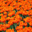 Beautiful orange tulips — Stock Photo