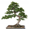 Bonsai tree — Stock Photo #11747485