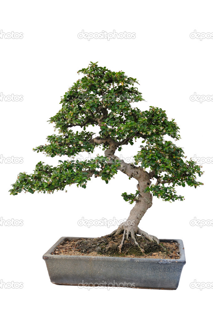 Bonsai tree in isolated white background — Photo #11747485