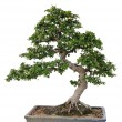 Bonsai tree — Stock Photo #11991540
