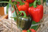 Growing red peppers — Stock Photo