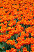 Beautiful orange tulips — Stock Photo