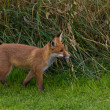 Single Red Fox (Vulpes vulpes Canidae) - Stock Photo