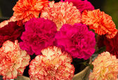 Carnations (Dianthus) — Stock Photo