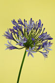 African Lily (Agapanthus) — Stock Photo