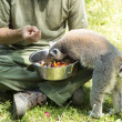 Lemurs feeding — Stock Photo