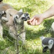 Lemurs feeding - Stock Photo