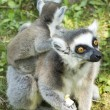 Lemur family - Stock Photo