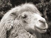 Camel portrait (vintage sepia shot) — Stock Photo