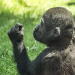 Gorilla babyi is exploring blade of grass — Stock Photo