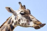 キリンのポートレート写真 — ストック写真