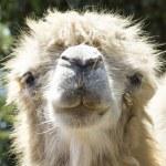 Camel portrait — Stock Photo #11480813