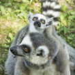 Royalty-Free Stock Photo: Lemur family