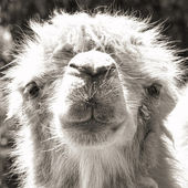 Camel portrait (vintage sepia shot) — Stock Photo