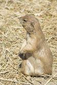 Souslik (ground squirrel) — Stock Photo