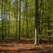 Beech forest in early autumn — Stock Photo