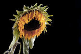 Wilted sunflower — Stock Photo