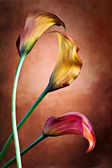 Zantedeschia aethiopica — Stock Photo