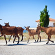 Goats in greece — Stock Photo
