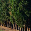 Trees row straight in the evening — Stock Photo
