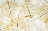 Transparent leaves — Stock Photo