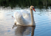 White swan and grey swans — Stock Photo