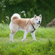 Husky Dog - Photo