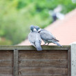Courting Pigeons — Stock Photo #10952056