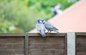 Courting Pigeons — Stock Photo